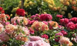 Какие розы самые неприхотливые и зимостойкие