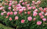 Подготовка роз к зиме в средней полосе
