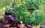 Можно ли выращивать базилик в домашних условиях?