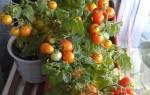 Как выращивать томаты круглый год в домашних условиях?