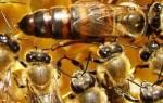Пчеловодство для начинающих: как выглядит пчелиная матка?