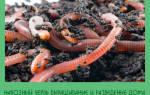 Как выращивать навозного червя в домашних условиях?