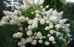 Гортензия садовая грандифлора посадка и уход в открытом грунте