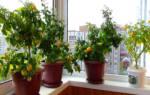 Как выращивать балконные помидоры в домашних условиях?