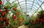 Лучшие сорта раннеспелых томатов