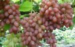 Лучшие кишмишные сорта винограда