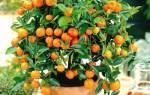 Как выращивать апельсин в домашних условиях из косточки?