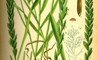Пырей лекарственное растение