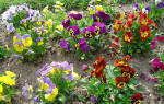 Фиалка садовая посадка и уход в открытом грунте