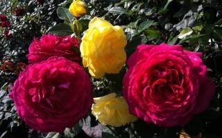 Как выращивать розы из черенка в домашних условиях?
