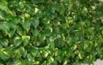 Почему нельзя выращивать вьющиеся растения дома?
