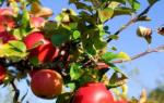 Яблоня посадка осенью и уход в открытом грунте