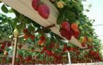 Как можно выращивать клубнику на маленькой площади?