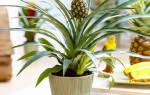 Кто выращивал ананас в домашних условиях