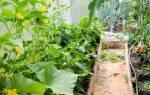 Можно ли выращивать помидоры и огурцы в одной теплицы?