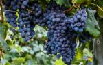 Лучшие сорта синего винограда