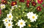 Можно ли выращивать однолетние георгины как многолетние?