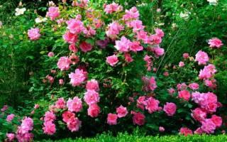 Роза привитая на шиповник посадка и уход