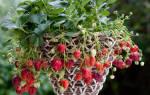 Как лучше выращивать клубнику в мешках или ящиках?