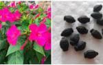 Можно ли мирабилис выращивать как комнатное растение?