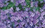 Цветок кампанула в открытом грунте посадка и уход