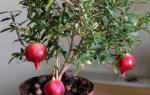 Как выращивать гранат в домашних условиях из косточки?