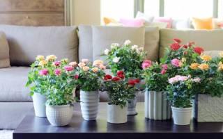 Как поливать домашнюю розу в горшке