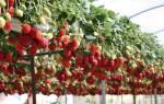 Какие сорта клубники можно выращивать в теплице круглый год?