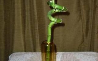 Как в домашних условиях выращивать бамбук в домашних условиях?