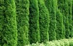 Как выращивать туи в домашних условиях из ветки?