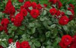 С чем сажать розы на клумбе