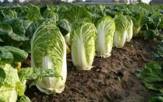 Как выращивать китайскую капусту в открытом грунте?