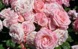 Чайная роза посадка и уход в открытом грунте