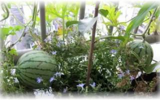 Выращиваем арбуз из косточки в домашних условиях