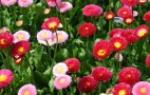 Как выращивать пионы в домашних условиях?