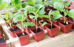 Как выращивать рассаду баклажан в домашних условиях?