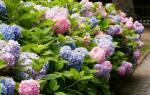 Гортензия садовая зимостойкая посадка и уход в открытом грунте