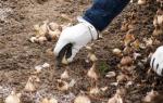 Нарциссы посадка и уход в открытом грунте осенью в сибири