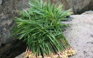 Как выращивать имбирь в домашних условиях из семян?