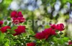 Роза садовая посадка и уход в открытом грунте на зиму