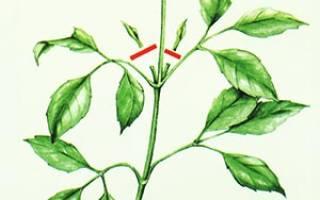 Что значит прищипнуть растение