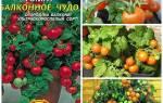 Как правильно выращивать помидоры балконное чудо?