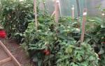 Что можно выращивать в теплице вместе с томатами?