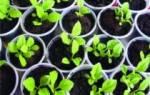 Как выращивать астры из семян в домашних условиях?