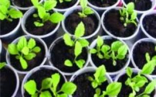 Как выращивать рассаду астры в домашних условиях?