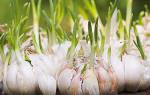 Как выращивать чеснок в домашних условиях в квартире?