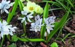 Луковичные цветы для сада многолетние