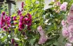 Шток роза карнавал посадка и уход в открытом грунте