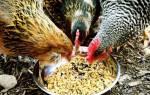 Чем можно кормить в домашних условиях чтобы курица могла нестись