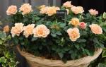 Как правильно выращивать комнатную розу в горшке?